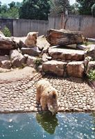 Beren zoeken verkoeling in het water bij de Heidelberg Zoo.