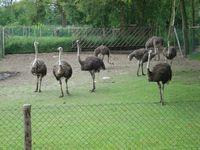 Struisvogels ergens onderweg.